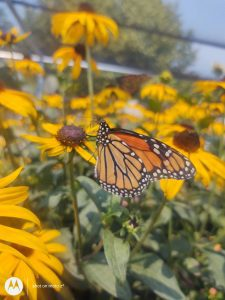 Monarch Butterfly on a Black-Eyed Susan flower