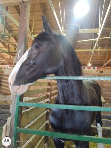 One of the horses at the Elkhart County Fair