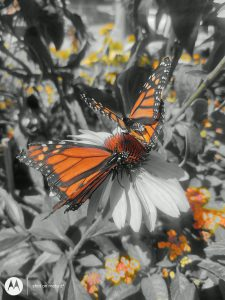 Spot Color image of Monarch Butterfly on flower, taken with Moto Z4